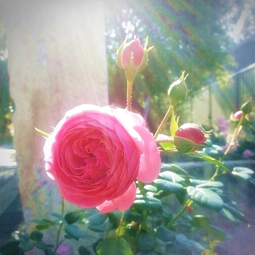 my lovely roses